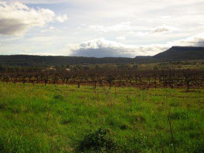 Les vignes au Mas Foulaquier