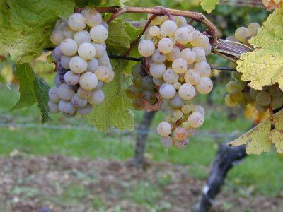 Riesling_-raisins_sur_pied_de_vigne