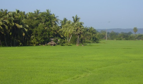 Rizières entre Trincomalee et Gal Oya
