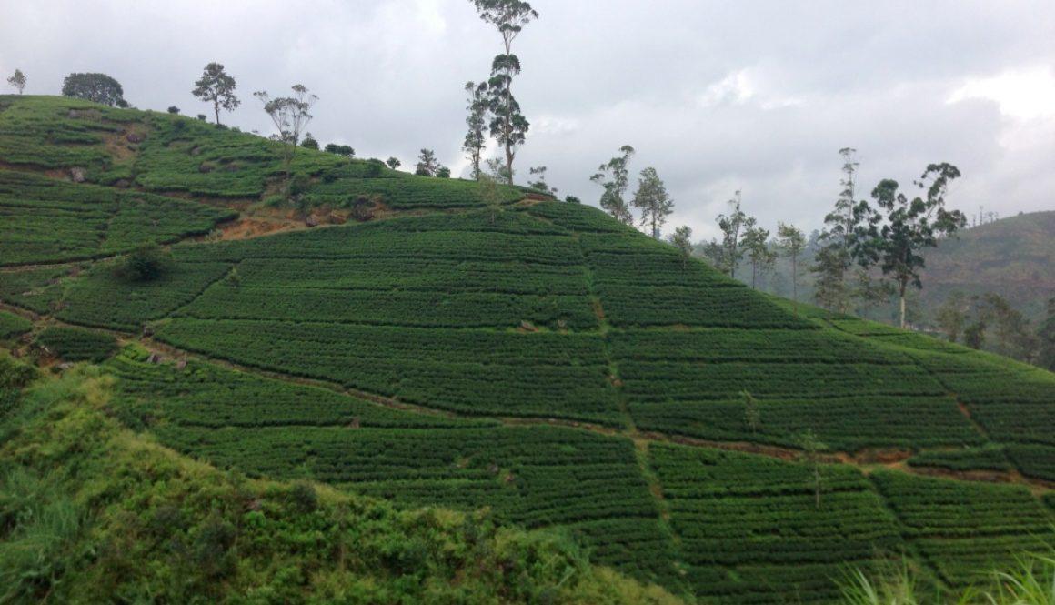 4 semaines au Sri Lanka en passant par les plantations de thé