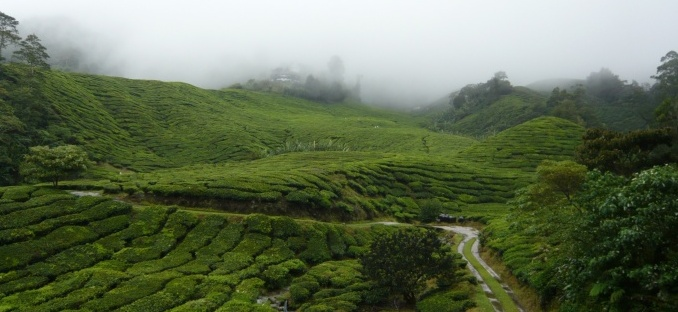 Plantations de thé aux Cameron Highlands