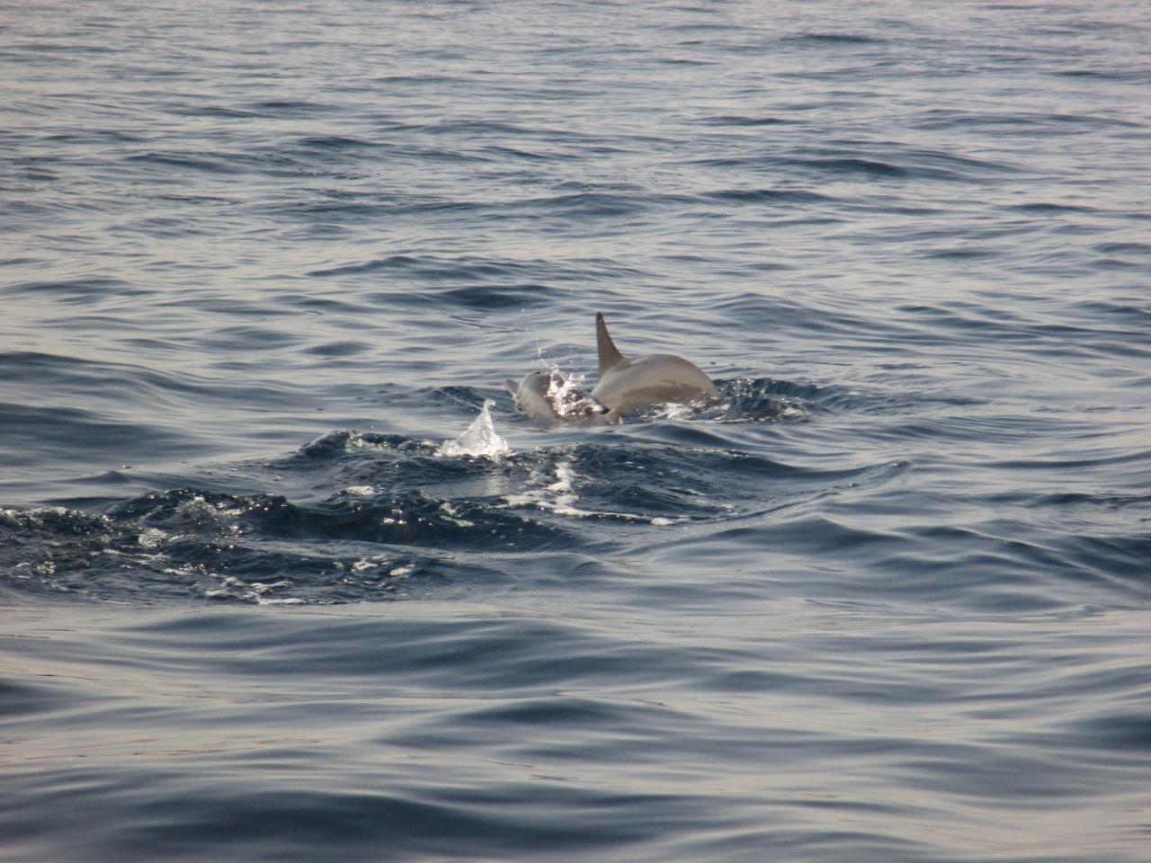 dauphin a mascate