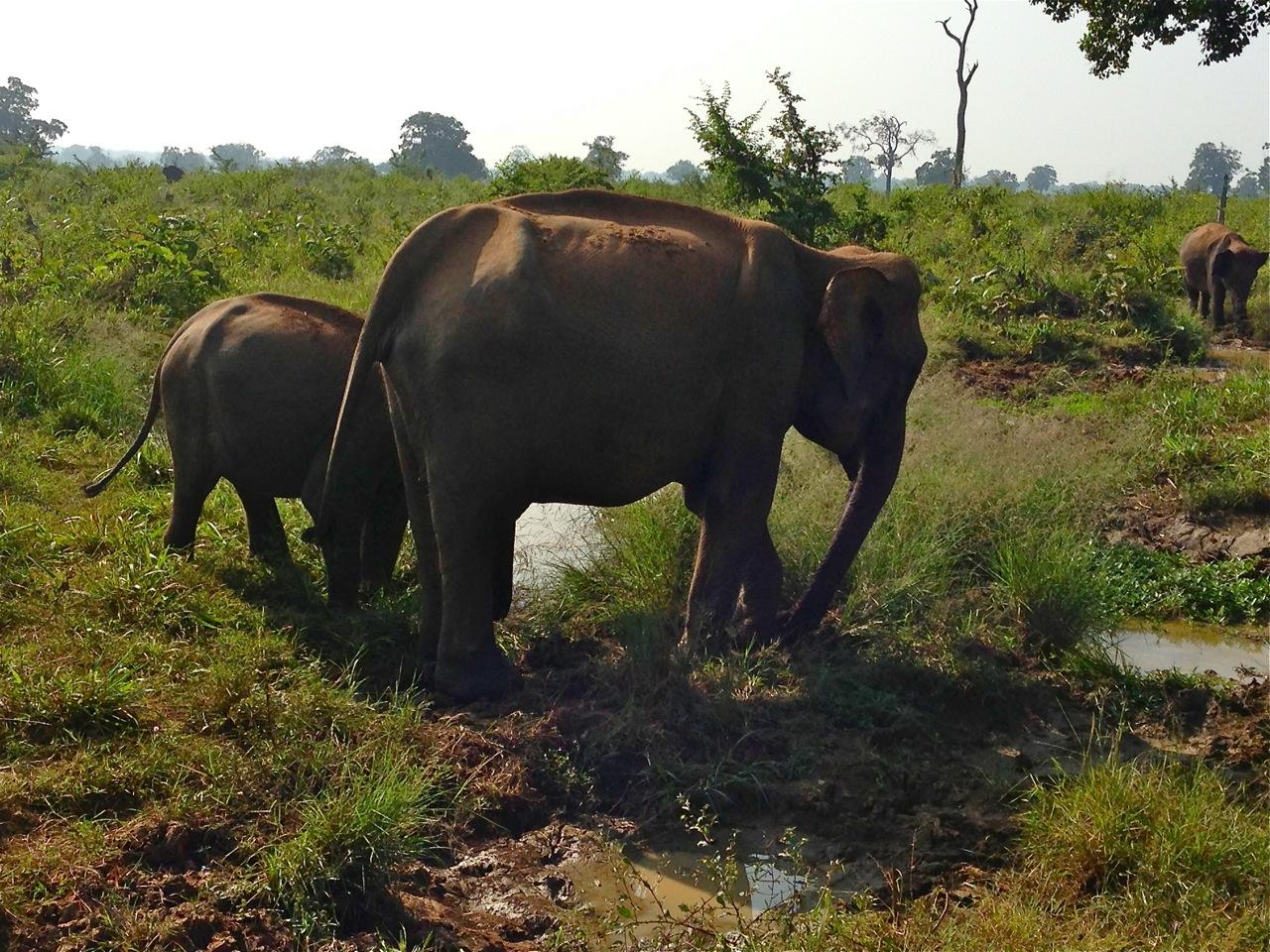 elephant uda walawe