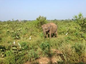elephants bebe uda walawe