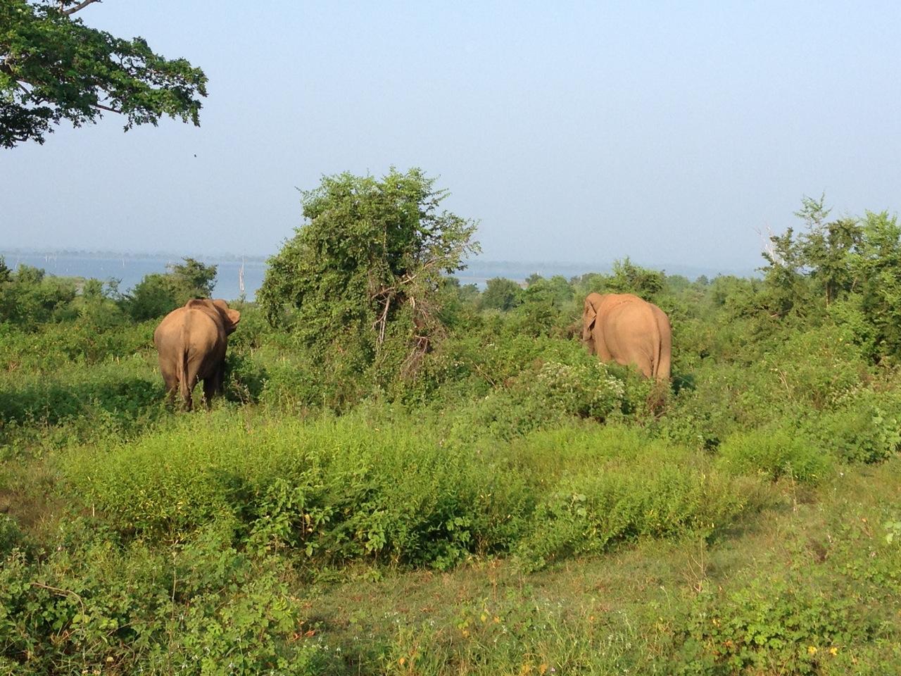 elephants parc uda walawe