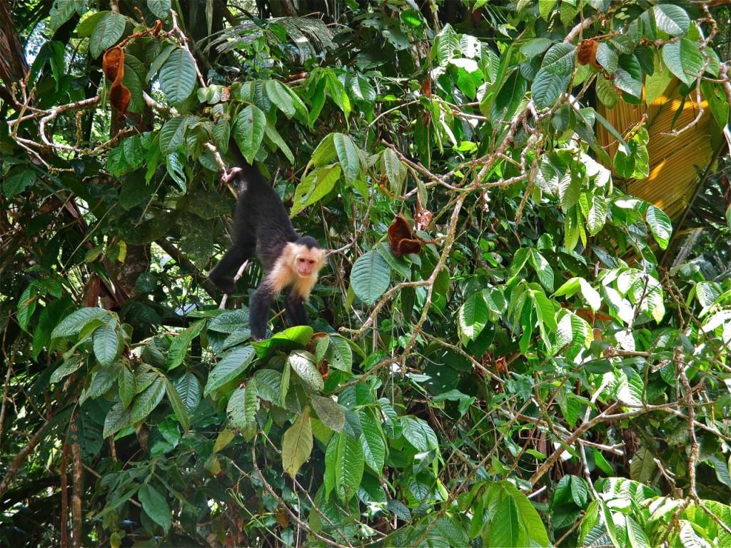 Capucin dans le parc national de Tortuguero