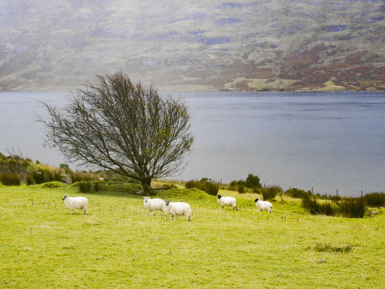 Moutons dans le Connemara en Irlande
