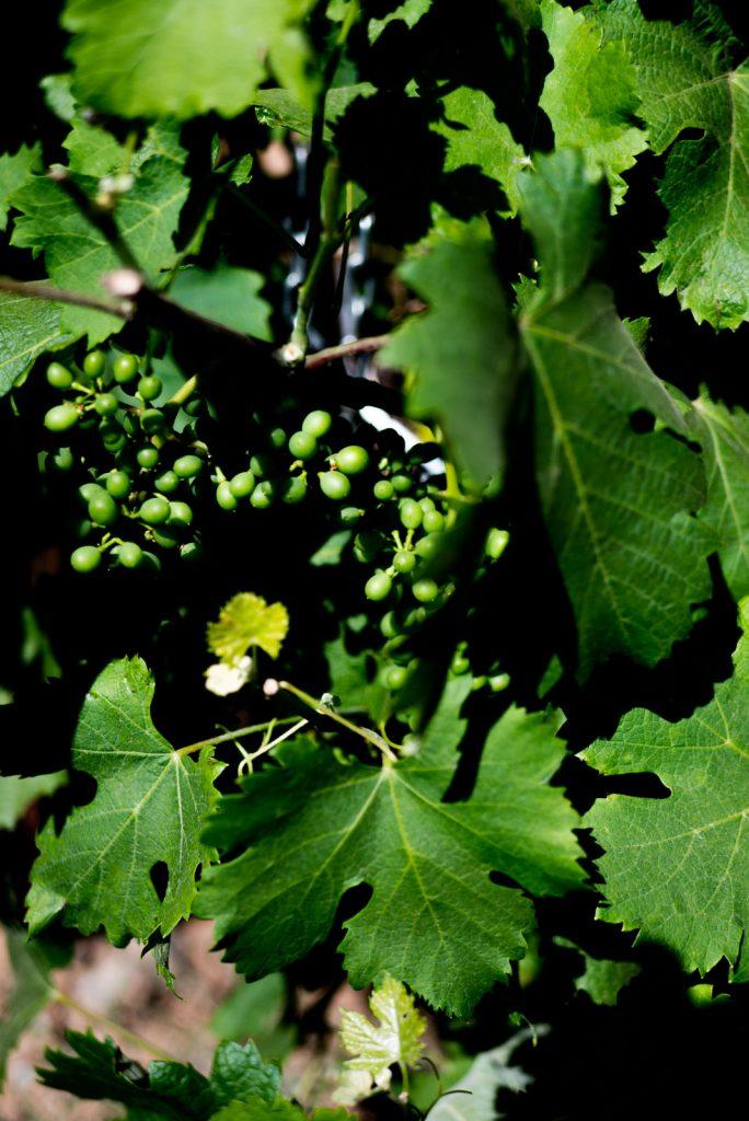 Le vignoble de Saint Chinian dans l'Hérault