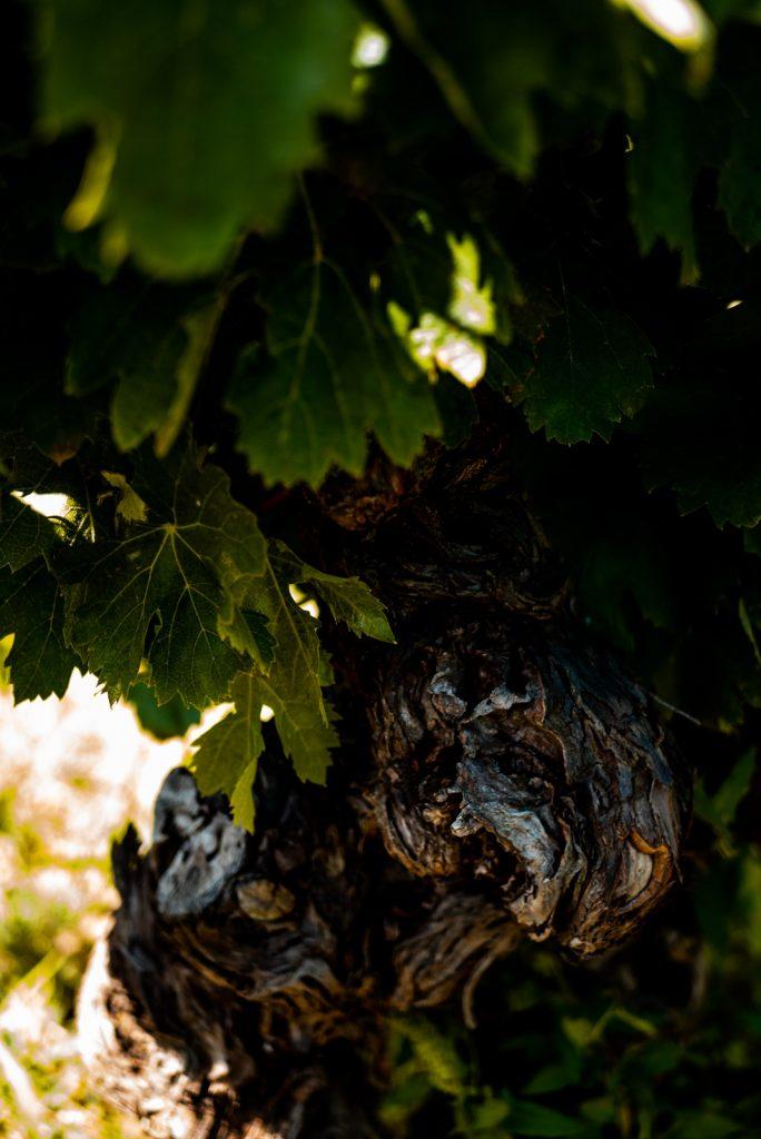 Le vignoble de Saint Chinian dans le Haut Languedoc